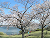 桜スポット特集!~サービスエリアやIC周辺の桜スポットをご紹介~